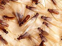 Swarmingtermites